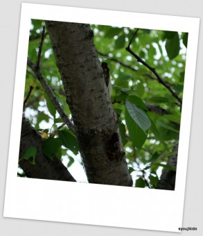 公園の木にはアブラゼミ。広いスペースに何故か寄せ集まって。
